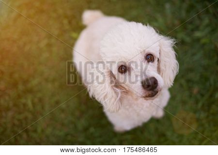 Looking Up White Poodle