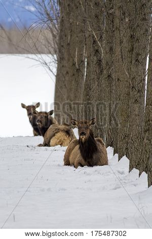 Three elk laying in the snow in an orchard near Rathdrum Idaho.