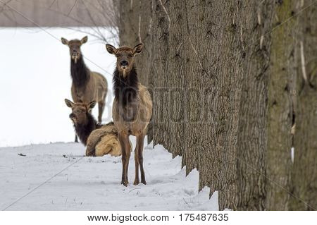 Elk looks at camera in an orchard near Rathdrum Idaho.