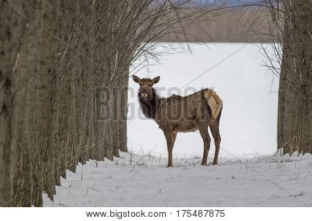 An Elk within trees in an orchard near Rathdrum Idaho.