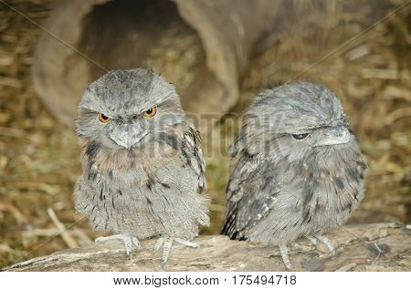 this is a close up of two tawny frogmouths sitting on a log