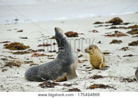 the sealion pup is walking to its mother