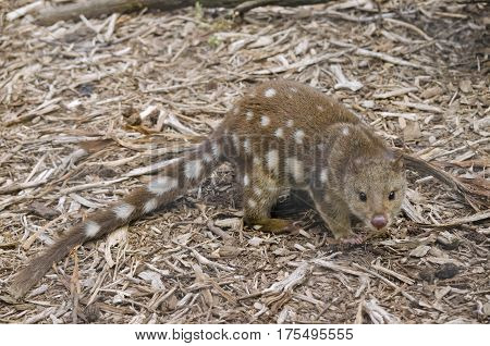 A quoll walking in bark and leaves
