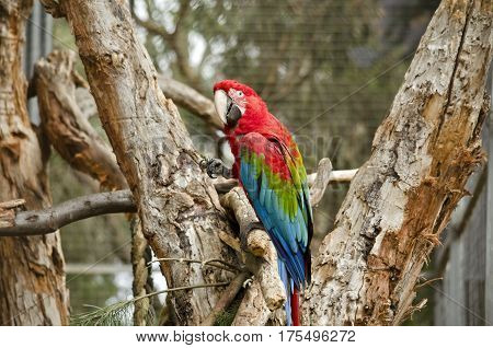 the scarlet macaw is eating tree bark