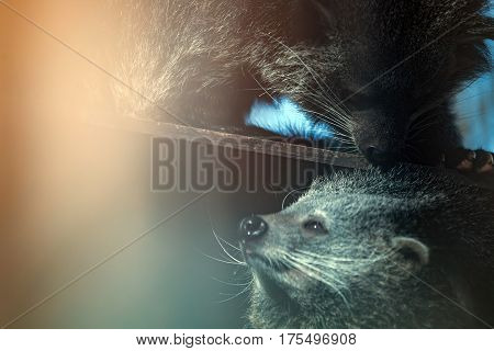 Rare beautiful endangered cute binturong animals touching