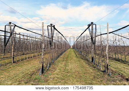 Young European cherry orchard in early springtime