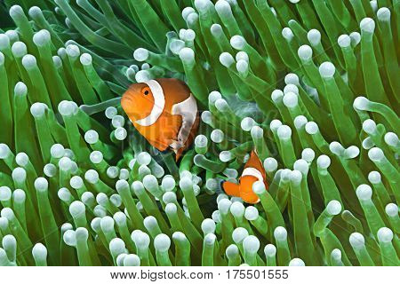 Colorful Clownfish Couple