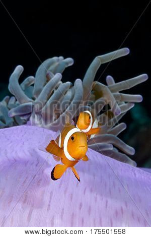 Nemo Clownfish, Amphiprion ocellaris