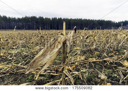 Closeup of cut corn stalk in golden harvested field tall straight pines in background