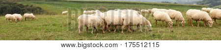 Sheeps in basque country landscape
