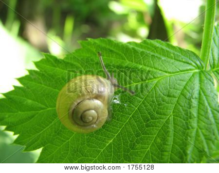 brown color snail standing on a green leaf poster