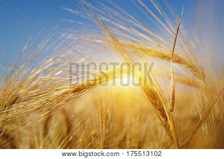 Golden wheat close up on sun. Rural scene under sunlight. Summer background. Growth harvest.