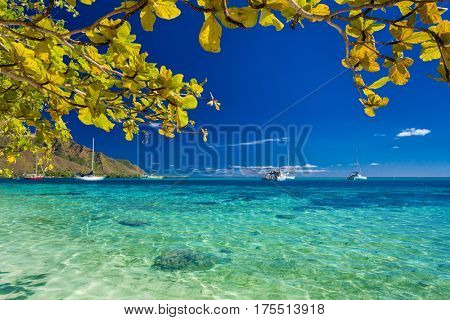 Tree with yellow leaves over the beach at Moorea, Tahiti, French Polynesia