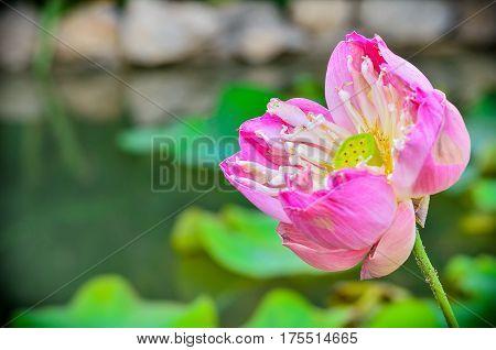 Close up Lotus flower blooming in garden