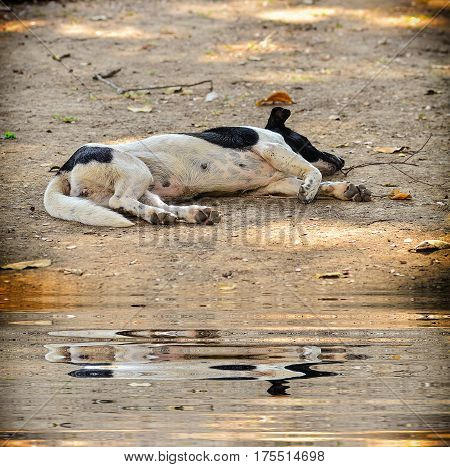Stray dog laying on the pavement with reflection in water