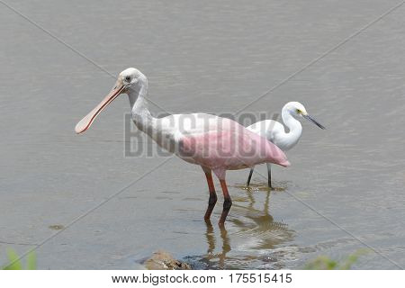 A Roseate Spoonbill (Platalea ajaja) together with a Snowy Egret photographed in Manzanillo, Mexico