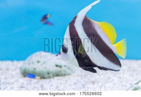 black and white color butterfly fish on blue background