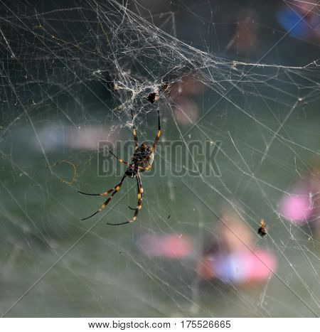 Australian spider hanging on the spider web. Spider web of the hunt. Spider web with colorful background. People swimming on the beach in the background.
