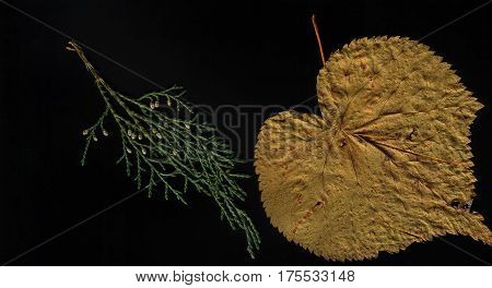 Autumn foliate and coniferous herbarium on black background flat lay. A leaf of linden and a branch of tui.