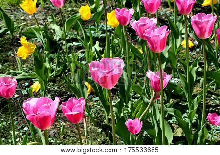 Close up of beautiful bright colorful tulips