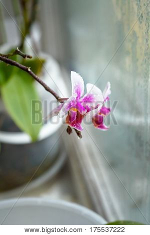 dwarfish violet orchid at a window in rainy day