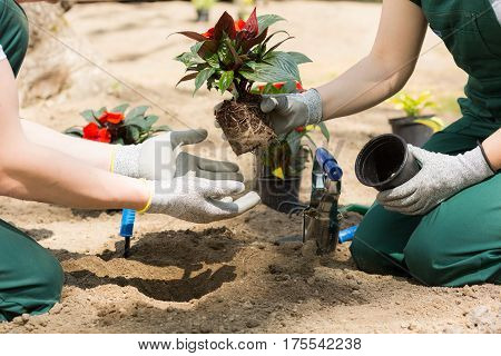 Gardeners Putting The Plant Out From The Flowerpot