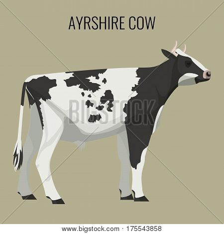 Ayrshire cow isolated on background. Vector illustration of realistic ayrshire dairy cattle with red white and black markings.