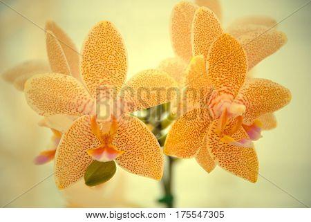 A branch of spotted orange Mokara Orchid. Trigeneric hybrid orchid. (Arachnis x Ascocentrum x Vanda)