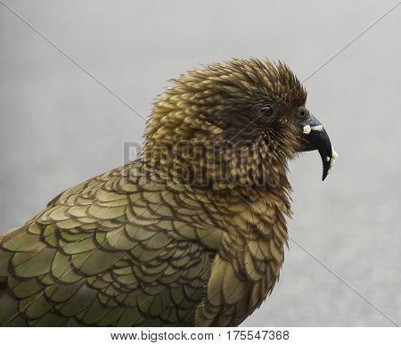 Kea bird portrait close up, South island of New Zealand. Kea bird, popular wild bird in South Island New Zeland.Kea mountain parrot Nestor notabilis