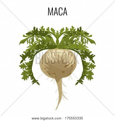 Maca ayurveda medicinal herb isolated on white background. Grown for fleshy fused hypocotyl and taproot. Used as root vegetable and a medicinal herb, realistic vector illustration