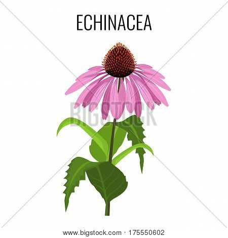 Echinacea ayurvedic herbaceous flowering plant isolated on white. Echinacea commonly called purple coneflowers. Purple herb flower with green leaves realistic vector illustration