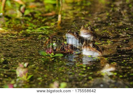 Common Frogs (rana Temporaria )
