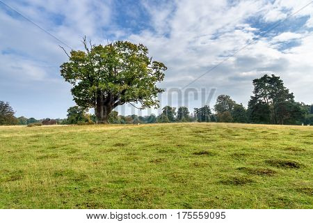 Huge oak on meadow. Autumnal landscape in the southeast of England with oak and meadow in the late afternoon
