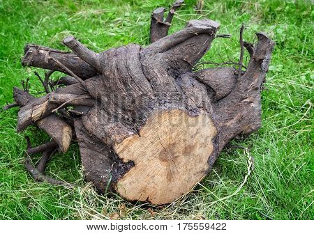 The green grass is uprooted stump of a felled tree with lots of thick roots.