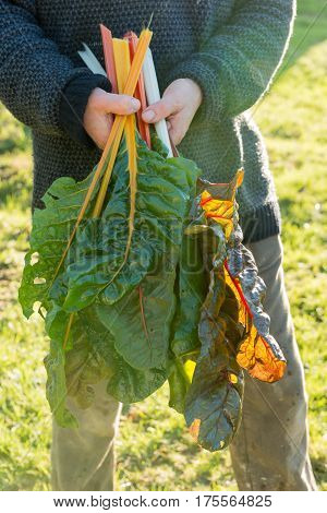 Swiss Chard Leaves And Stalks In Hand