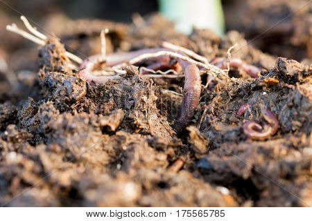 Earthworm Digging Its Way Through Dirt Macro