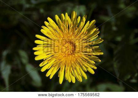 Macro shot of yellow dandelion flower against green grass