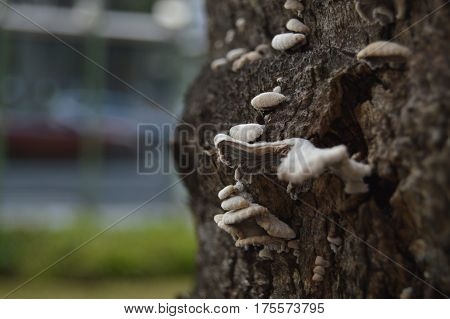Set of white fungi on a tree