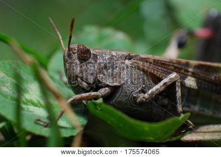 Close up shot of grasshopper, macro of grasshopper in the grass