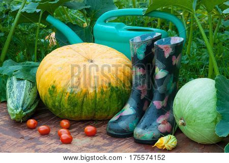 Ripe Vegetables Pumpkins Vegetable Marrow Red Tomatoes Rubber Boots Watering Can On Old Wooden Board In Garden Outdoors.
