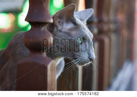 Gray Cat Of Oriental Breed 2 Years Old Sitting On Porch And Looking The Other Way Outdoor.