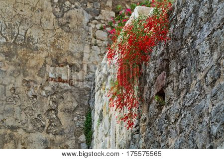 The bush of red flowers growing on a stone wall on the sky background