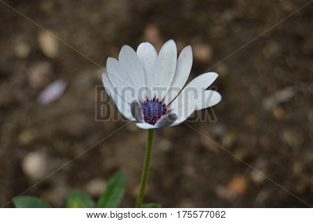 White and purple daisy in the garden surrounded by dirt