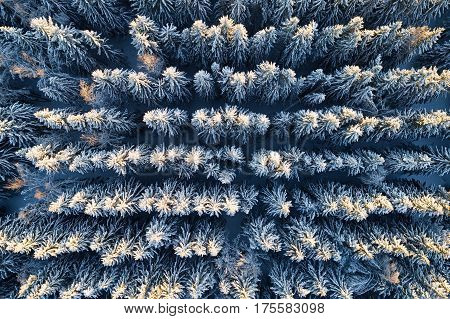 Aerial view of snow covered coniferous forest plantations. Rows of spruces in sunlight.
