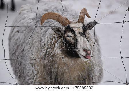 Sheep showing the tongue, Kolmarden, Ostergotland, Sweden