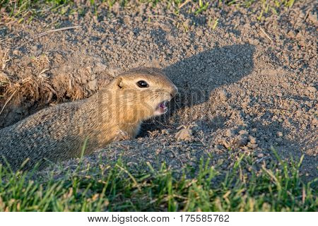 Curious Gopher Looks Out