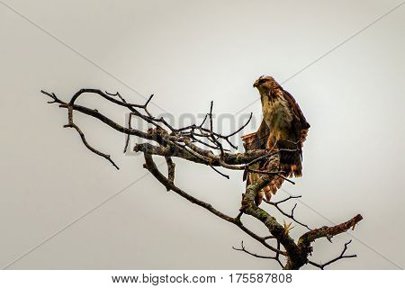 A Roadside Hawk perched high on leafless branches on a cloudy da