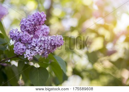 Greeting card idea - beautiful Easter lilac flower in Spring