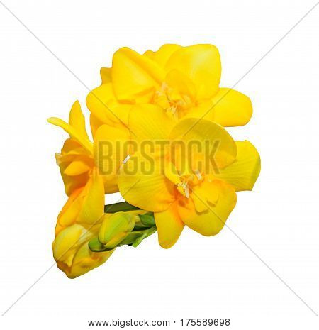 Yellow Freesia Flower Isolated On White Background, Close Up