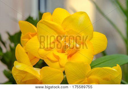 Yellow Freesia Flower Macro, Bokeh Background, Green Leaves Close Up